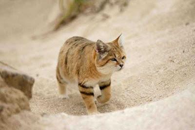 el gato del desierto de arabia