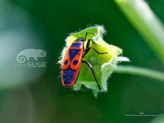 http://diversidadyunpocodetodo.blogspot.com.es/2013/11/fondos-pantall-wallpapers-opensuse-naturaleza-insectos-flores-1-2-3.html