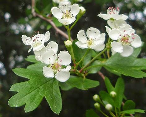 Espino blanco (Crataegus monogyna) flor blanca