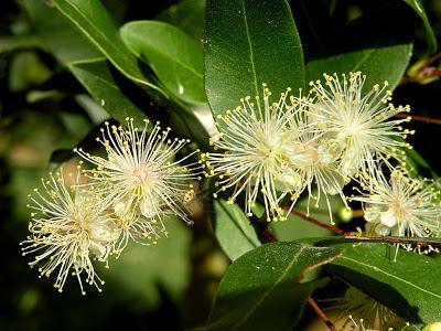 Myrcianthes cisplatensis