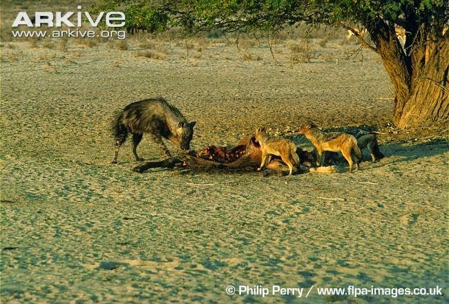Black backed Jackal with hyenas