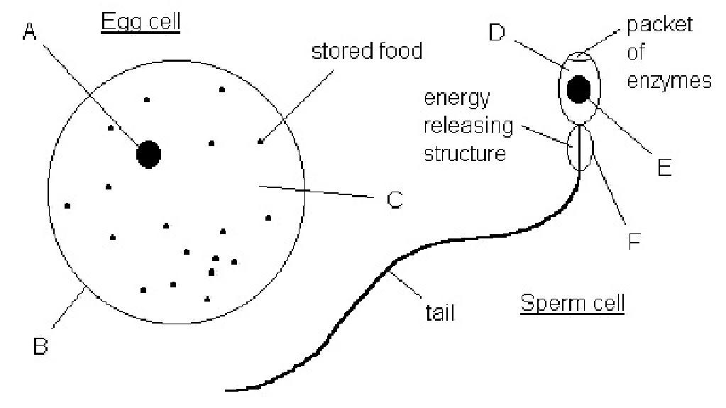 biokartanesia egg and sperm. Black Bedroom Furniture Sets. Home Design Ideas