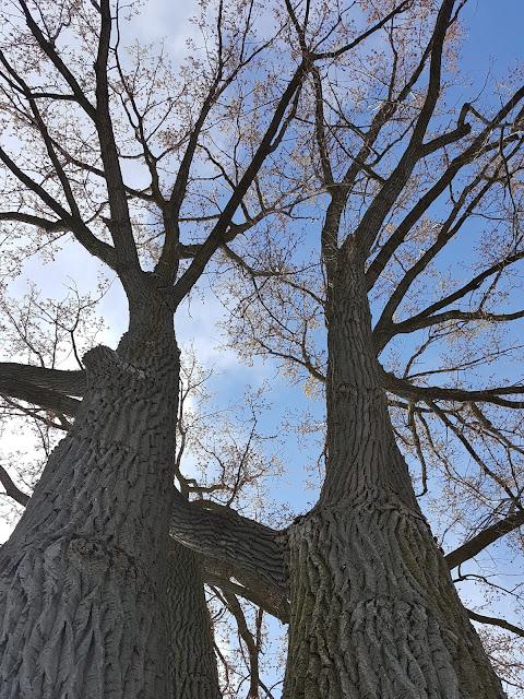 Veteran Trees in London Ontario