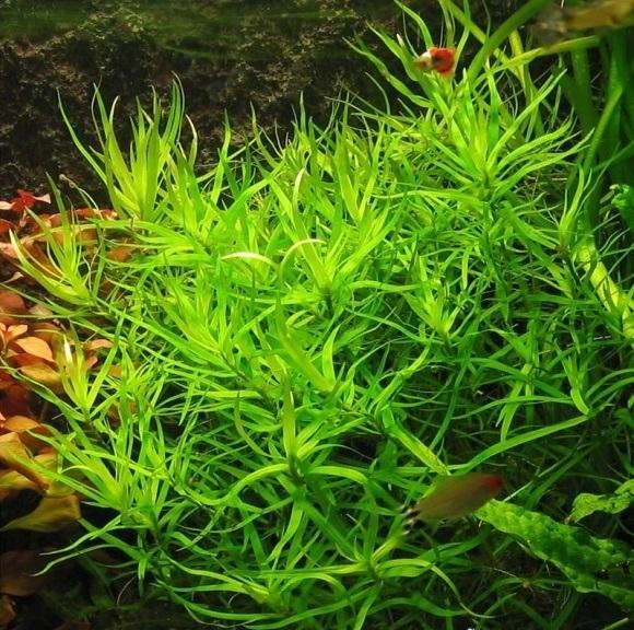 Phụ kiện thủy sinh - cây cỏ trúc - cỏ sao - tiểu trúc diệp