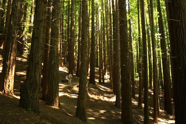 Resultado de imagen de bosque de sequoias cantabria