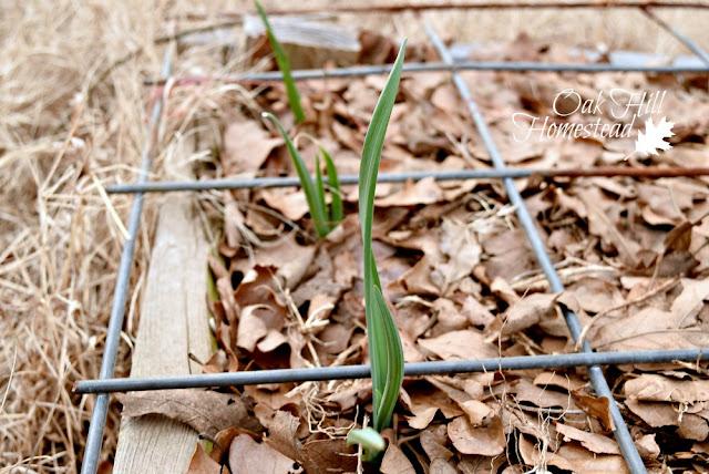 Garlic in a raised garden bed.