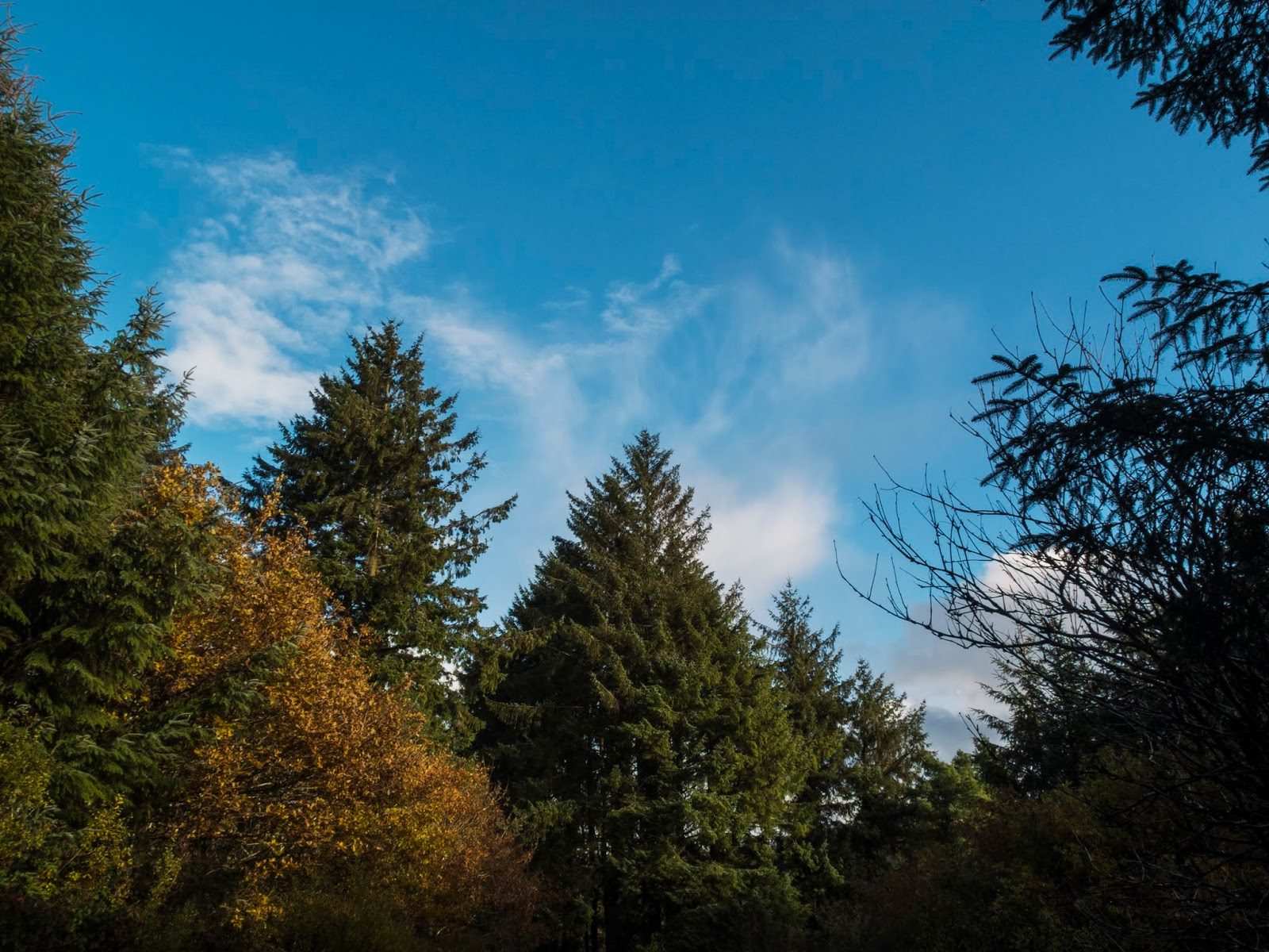 Green conifers and one golden deciduous tree in the sunlight with a blue sky overhead.