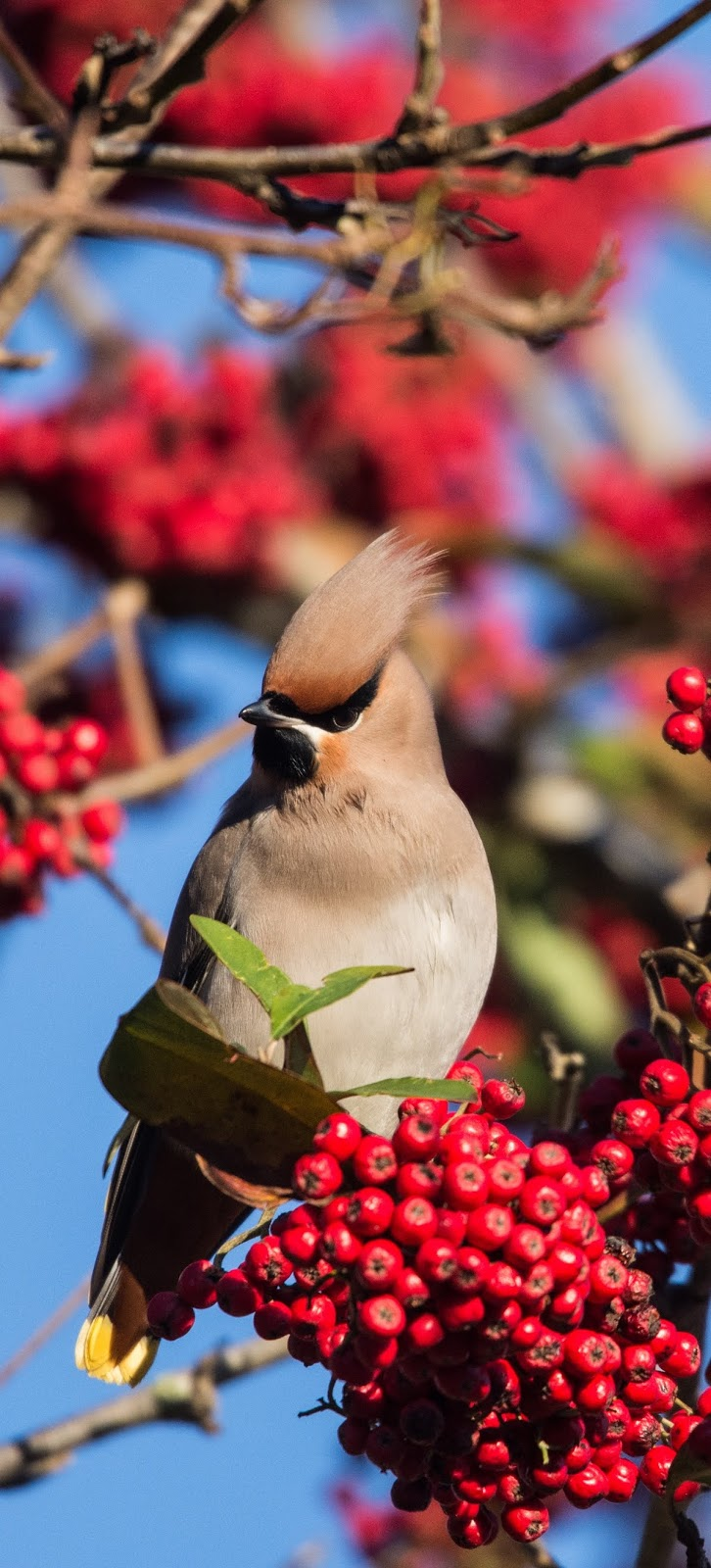 Picture of a waxwing bird.