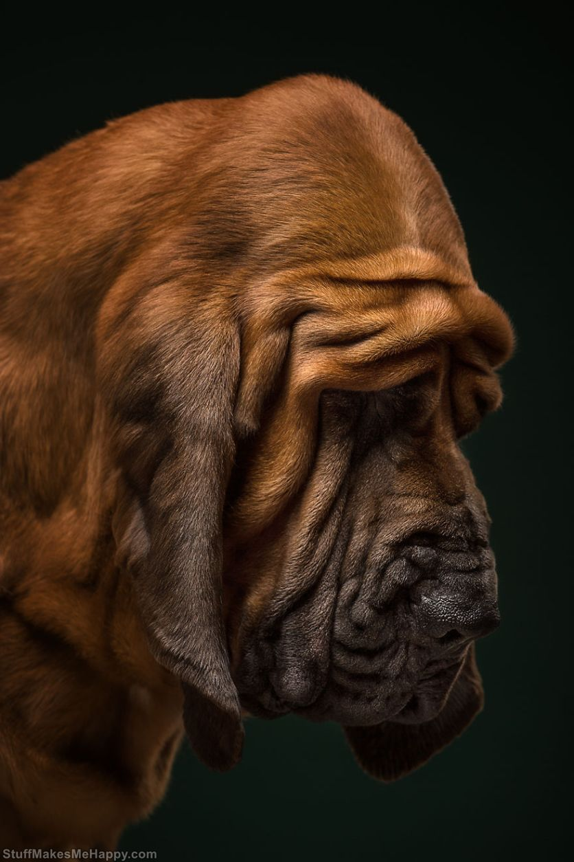 1. Nectar, Bloodhound. A real detective in the world of dogs