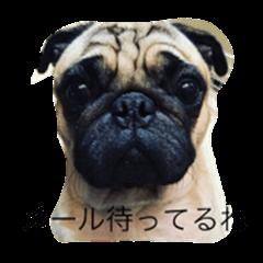 french bulldog&pag