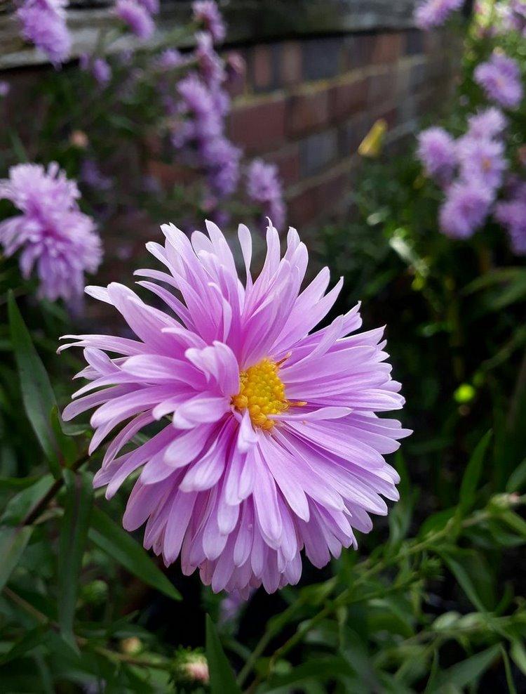 Aster que florece en otoño. Aster 'Flamingo'