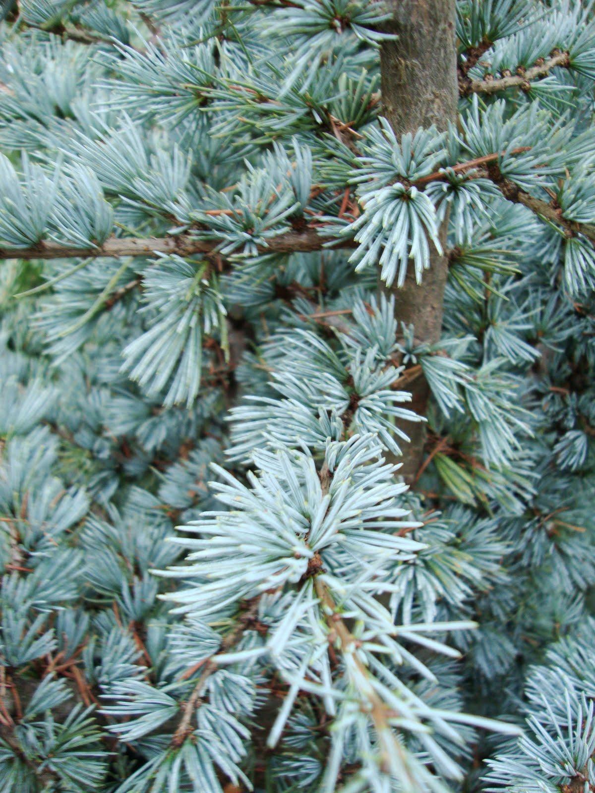 I M Dreaming Of A Blue Atlas Cedar Christmas