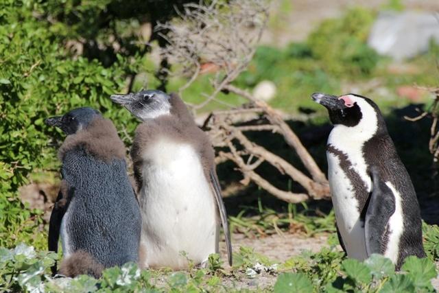 Crías de pingüino africano