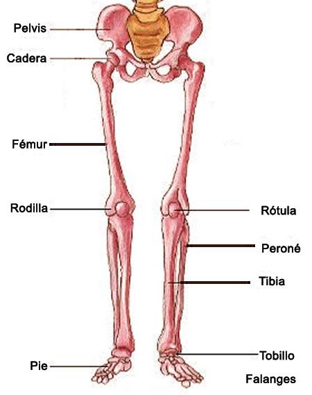Parte inferior del cuerpo humano musculos