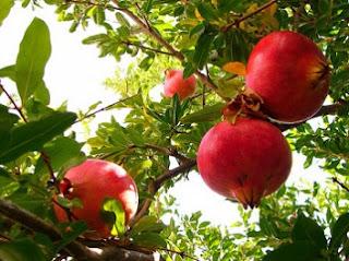 cara menanam buah delima dari biji,cara menanam buah delima yang benar,cara menanam buah delima merah,cara makan buah delima,