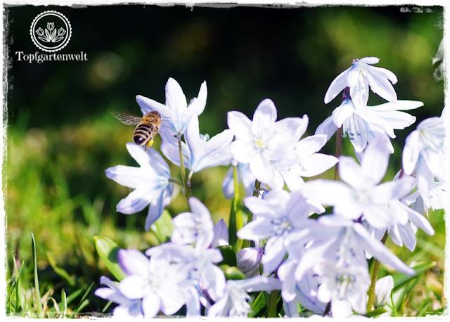 Gartenblog Topfgartenwelt Insekten: fliegende Biene, Biene im Anflug auf Blausternchen