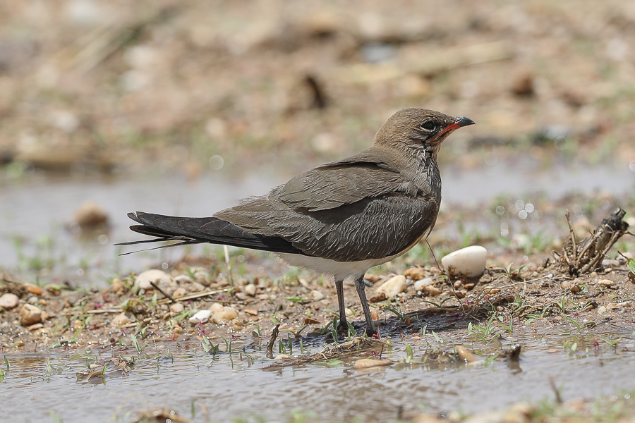 Collared Pratincole and other interesting birds