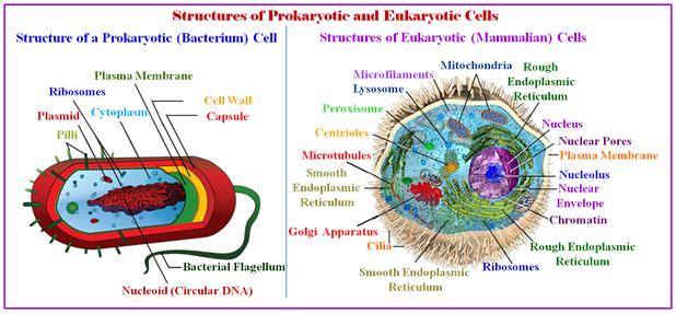 Differense Between Prokaryotic And Eukaryotic Cells