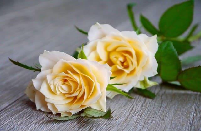 wallpaper mawar putih keren