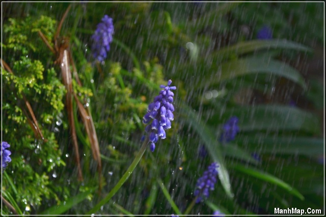 mưa rơi cho cỏ hoa xanh tốt
