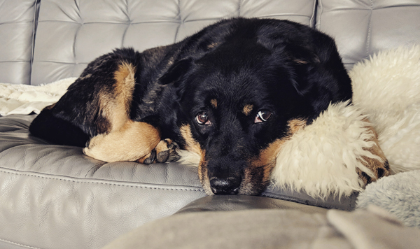 image of Zelda the Black and Tan Mutt curled up on the couch, looking up at me with big brown eyes