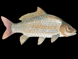 Common Carp Fish Pictures