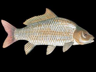 Common Carp Fish Pictures
