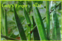 lady's finger seeds ahmedabad