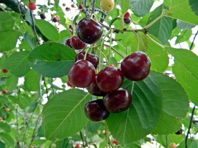 owoce letnie, czereśnie