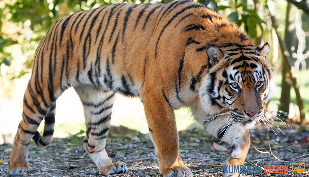 Snares That Kill and Threaten Sumatran Tiger Population