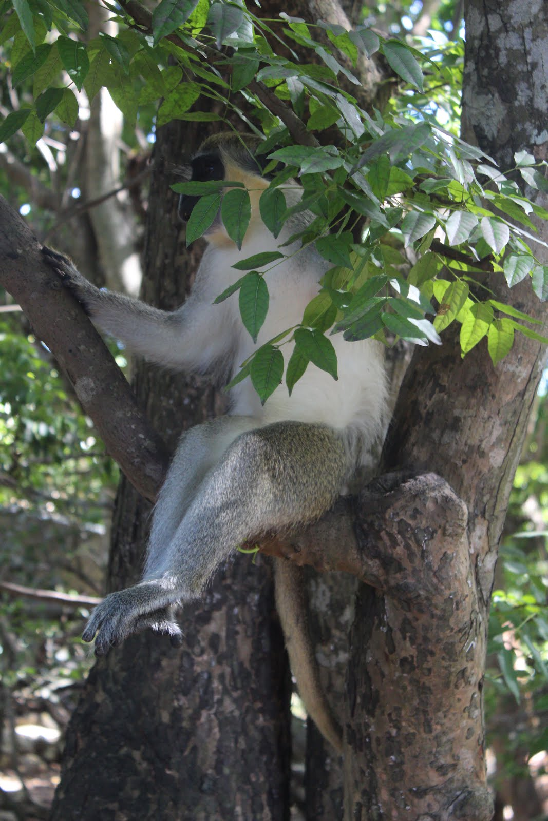 Green Monkey at Barbados Wildlife Reserve