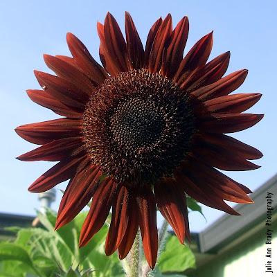 Chianti Hybrid Sunflower Blossom at 77 days on June 3, 2018