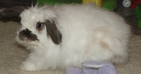 american fuzzy lop are almost as cute as cats https://commons.wikimedia.org/wiki/File:Rabbit_american_fuzzy_lop_buck_white.jpg