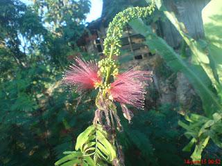 nektar lebah madu bunga kaliamdra