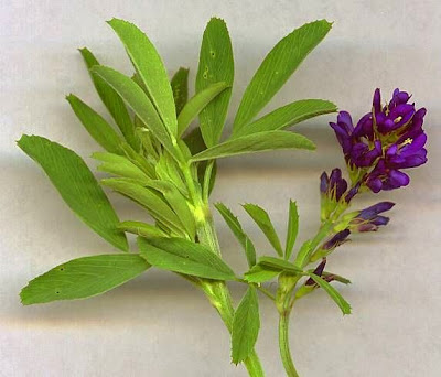 Image result for gambar tumbuhan alfalfa