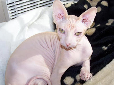 gato-sphynx-esfinge-raza-caracteristicas