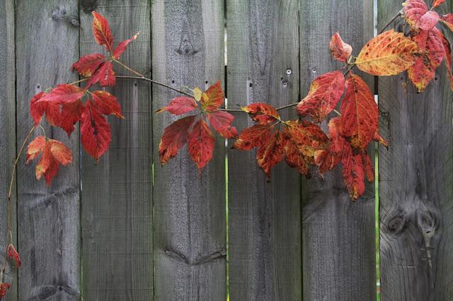woodbine, virginia creeper, autumn, garden, Anne Butera, My Giant Strawberry