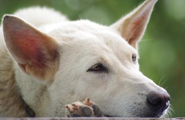 Bệnh viêm da rụng lông ở chó
