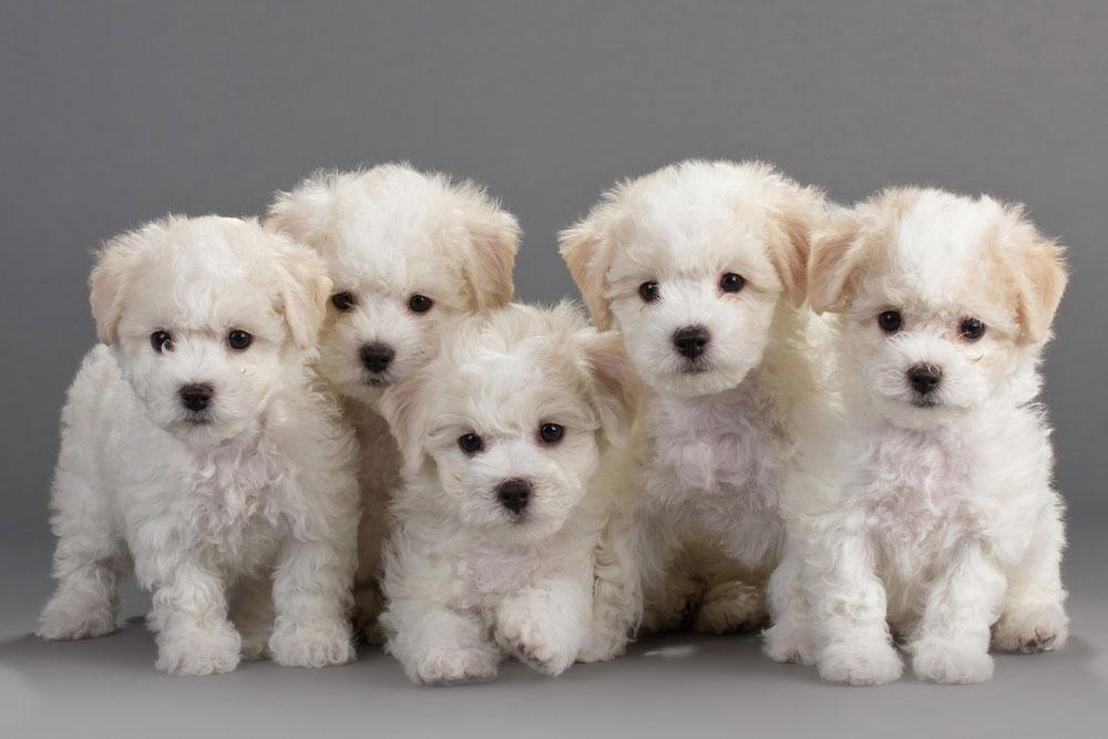 bichon hund