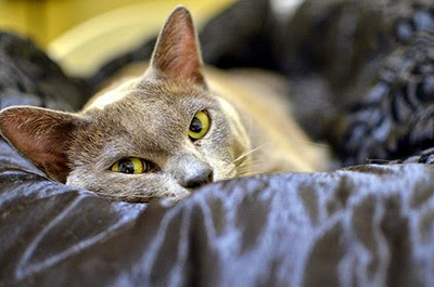 Resting Burmese cat