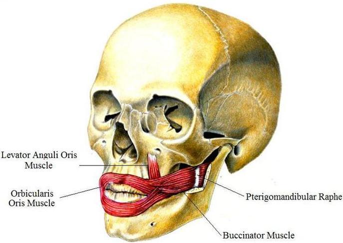 تازه های از طب دهن و دندان: اناتومی عضلات وجه