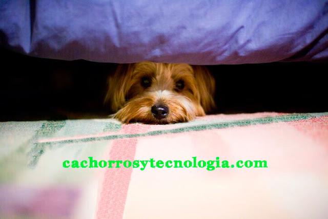 perro cachorro can puppy fuegos artificiales cuidados proteger shurkonrad dog