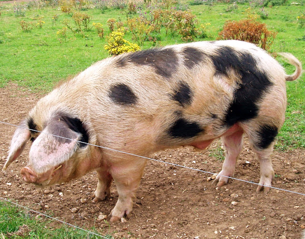 Guide for Raising Pigs Modern Farming Methods