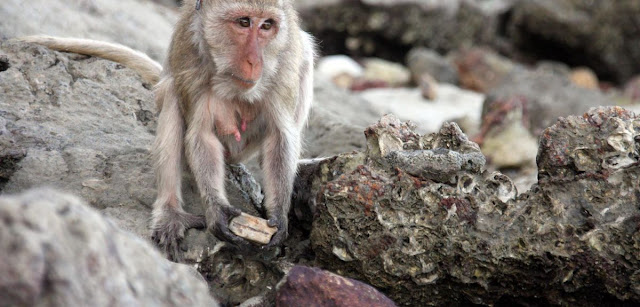 Monkey tool use threatens prey numbers, say researchers