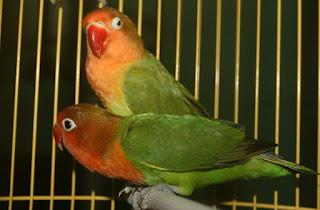 Beternak Lovebird Holland