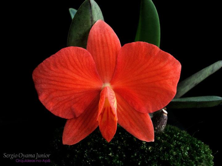 Mini-orquídea Sophronitis Arizona