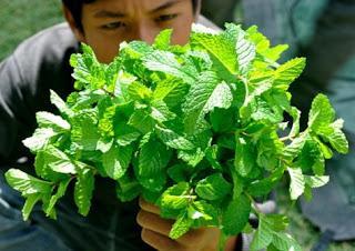 cara menanam daun mint,ciri-ciri daun mint,cara mendapatkan daun mint,cara mengolah daun mint untuk obat,cara mengolah daun mint untuk kecantikan,cara membuat masker daun mint,