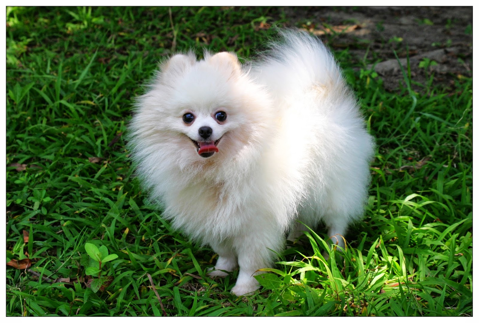 Flashbacks: One Pomeranian Puppy