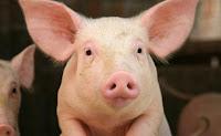 babi haram di semua agama