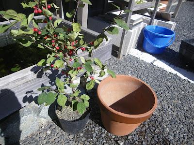 ウメモドキ 苗木